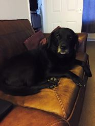 Jasper-Black-Labrador-Family.4