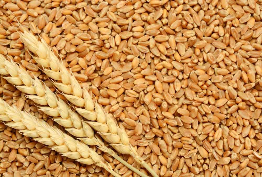 wheat-shutterstock