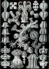 Gorgonida