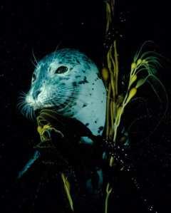 Harbor Seal in Kelp, Monterey Bay, California