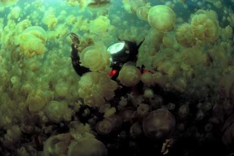 Mastigas Jellyfish, Palau