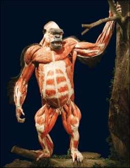 bodyworlds_gorilla_02_350x450