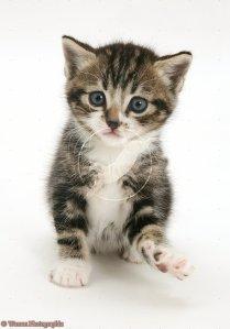 Tabby-and-white kitten