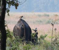 Gaur, Indian bison