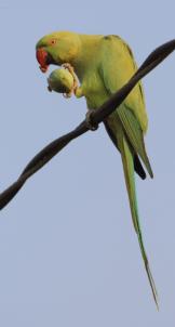 Rose-ringed parakeet, female