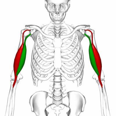 upper-body-workout-biceps-anatomy