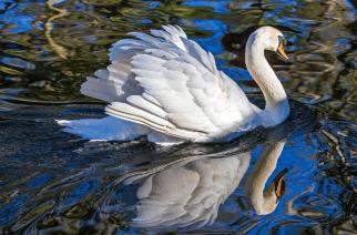 Assemblyman cries fowl over new DEC mute swan plan