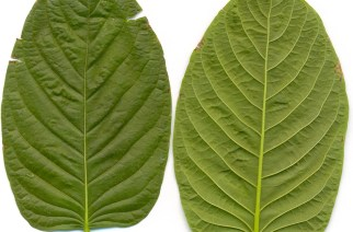 Kratom use and possession would be banned for all minors under new bill