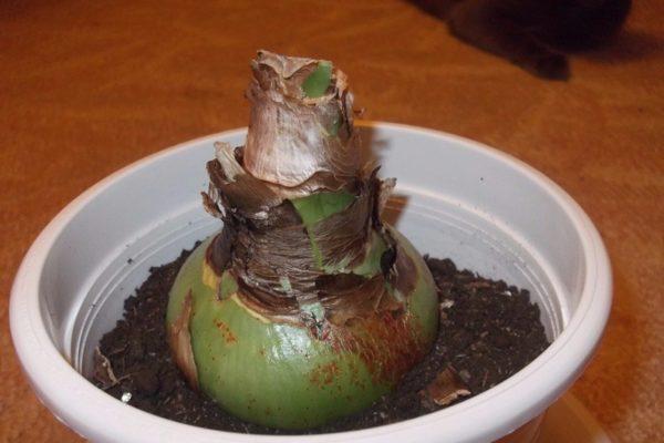 Plantarea hippeastrumei