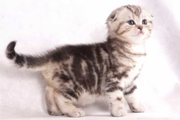 Шотландияның котенкасы