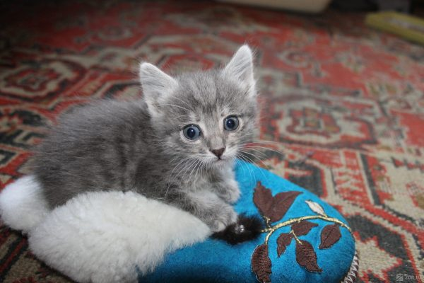 Котенка шүмегі