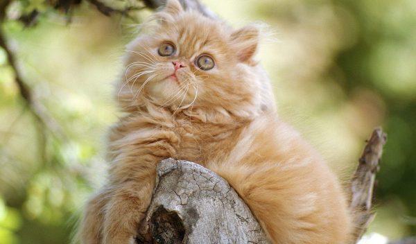 Қалың котенка