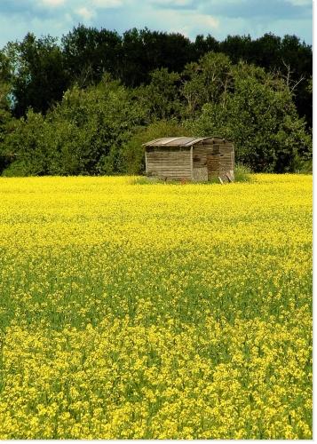 Un beau champs de colza dans la campagne
