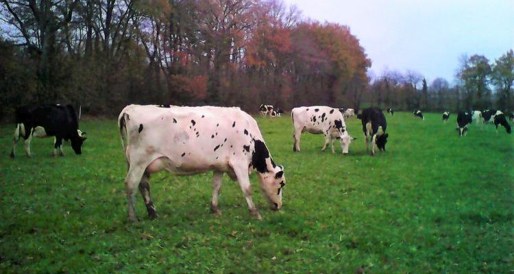Des vaches dans le pré en décembre