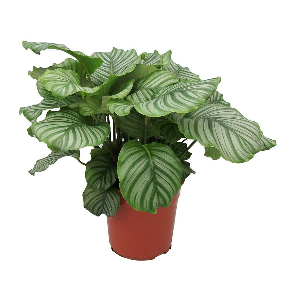 Calathea orbifolia, plante d'intérieur, facile d'entretien, décorative