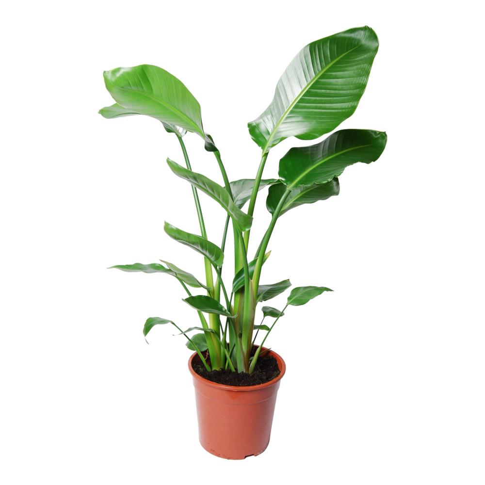 strelitzia nicolai, plante d'intérieur et facile d'entretien