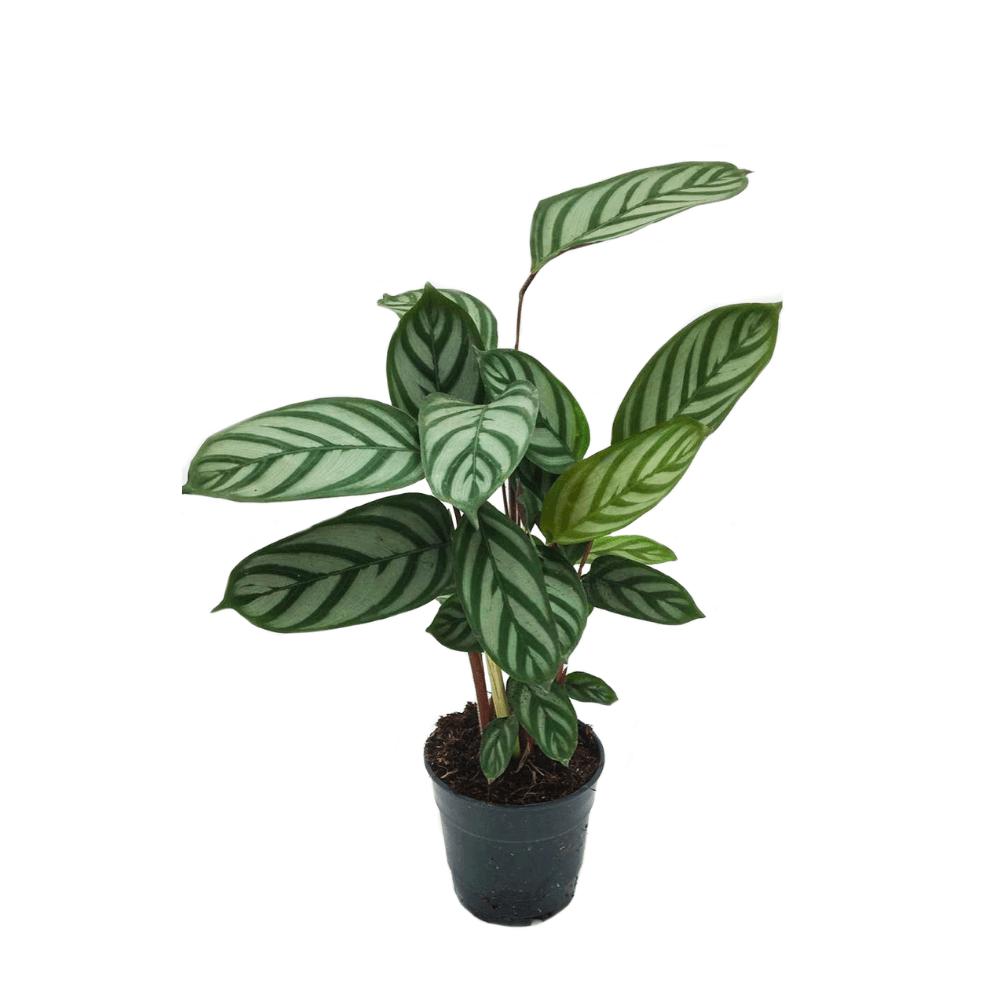 Le calathéa compact star est une plante d'intérieur facile d'entretien qui