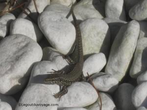Gecko - Bernardin, Piran, Slovénie