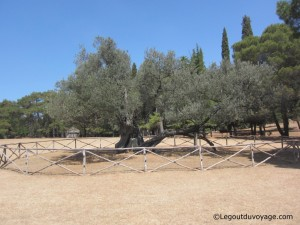 Vieil olivier Brijuni