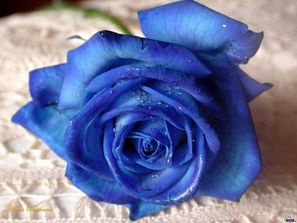 Fleur-Bleu4.jpg