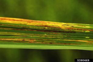 Life_cycle_of_Bacterial_Leaf_Streak
