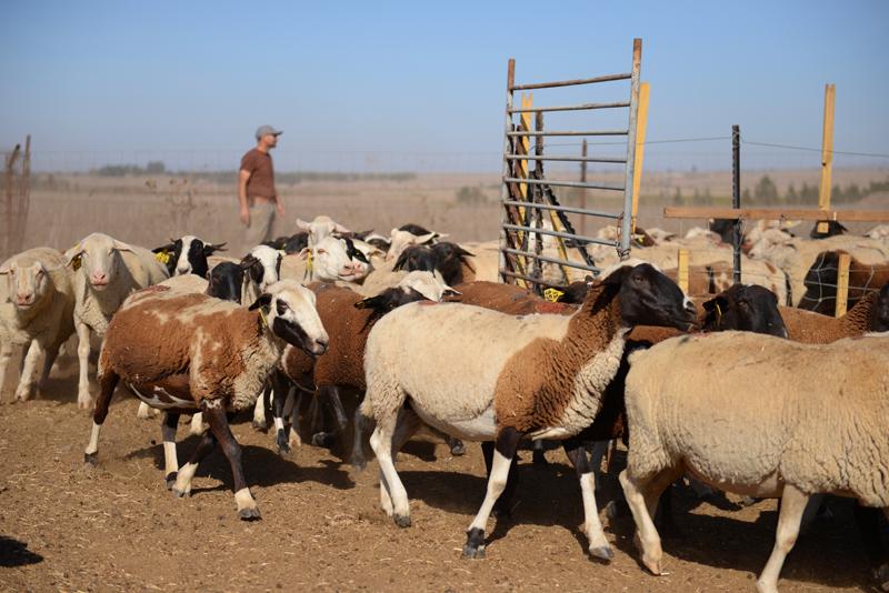 פאי רועים