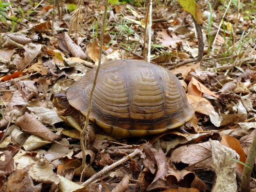 Lehigh Box Turtle