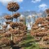 Fagus bonsai vormboom