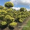 Ilex niwaki bonsai vormboom