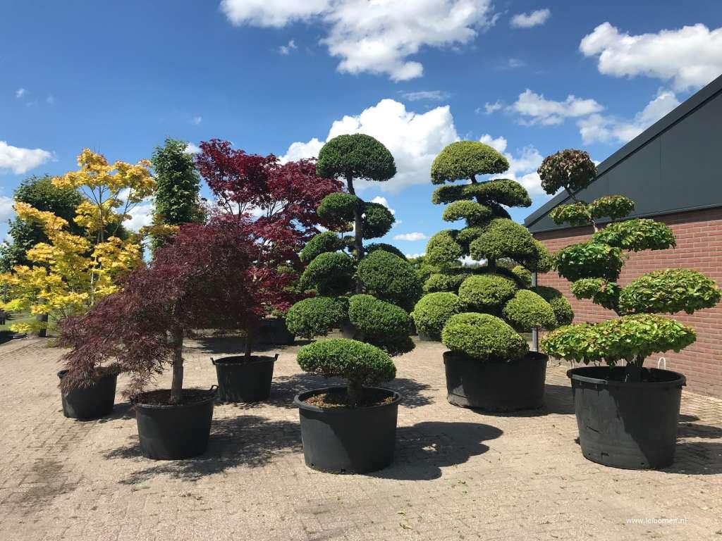 Vormboom gardenbonsai gartenbonsai bonsai