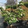 Cornus kousa satomi bonsai