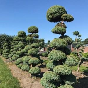 Juniperus bonsai vormboom