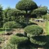 Tuinbonsai pinus