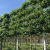 Witte berk leiboom betula