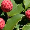 Cornus kousa vrucht