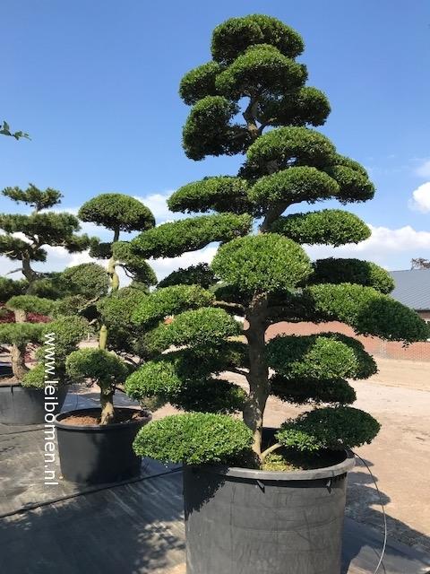 Bonsai vormboom niwaki