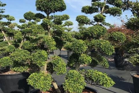 Ilex crenata bonsai