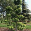 Liquidambar amberboom bonsai