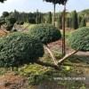 bonsai taxus