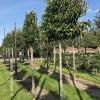 Prunus lusitanica leibomen groenblijvend