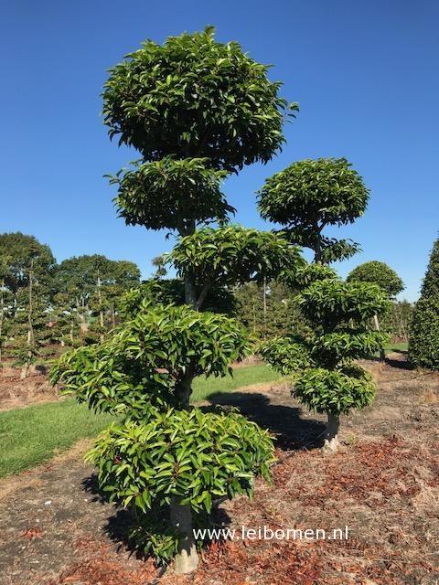 Prunus lusitanica bonsai vormboom