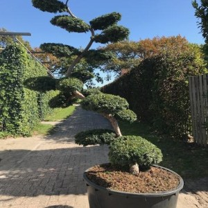 Taxus baccata summergold bonsai