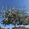 Elaeagnus leibomen
