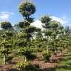 Beuk bonsai