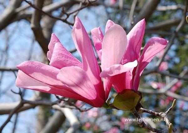 Magnolia galaxy bloem