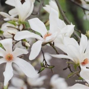 Magnolia kobus bloem