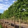 Magnolia leibomen