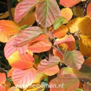 Parrotia persica blad