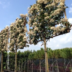 Photinia leibomen