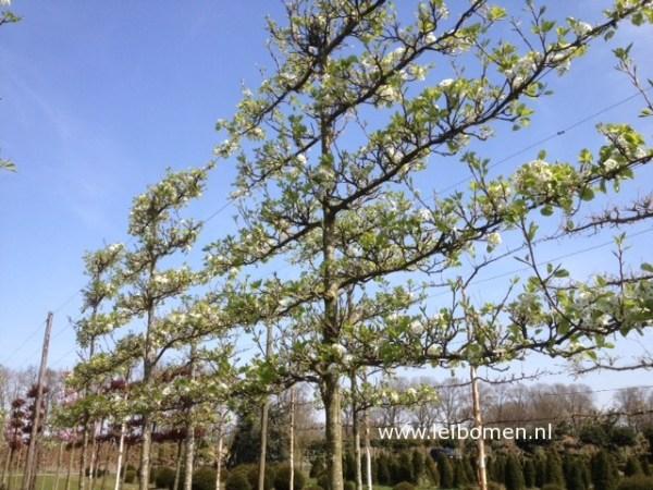 Leibomen bloemen sierpeer